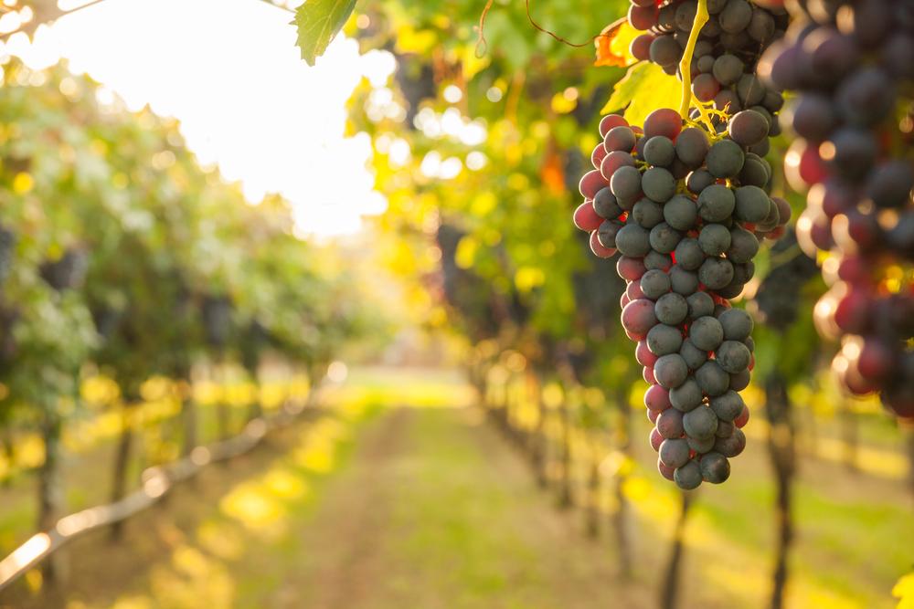 Bio Vegetal e agricoltura: gli effetti positivi del fertilizzante organico sull'uva.